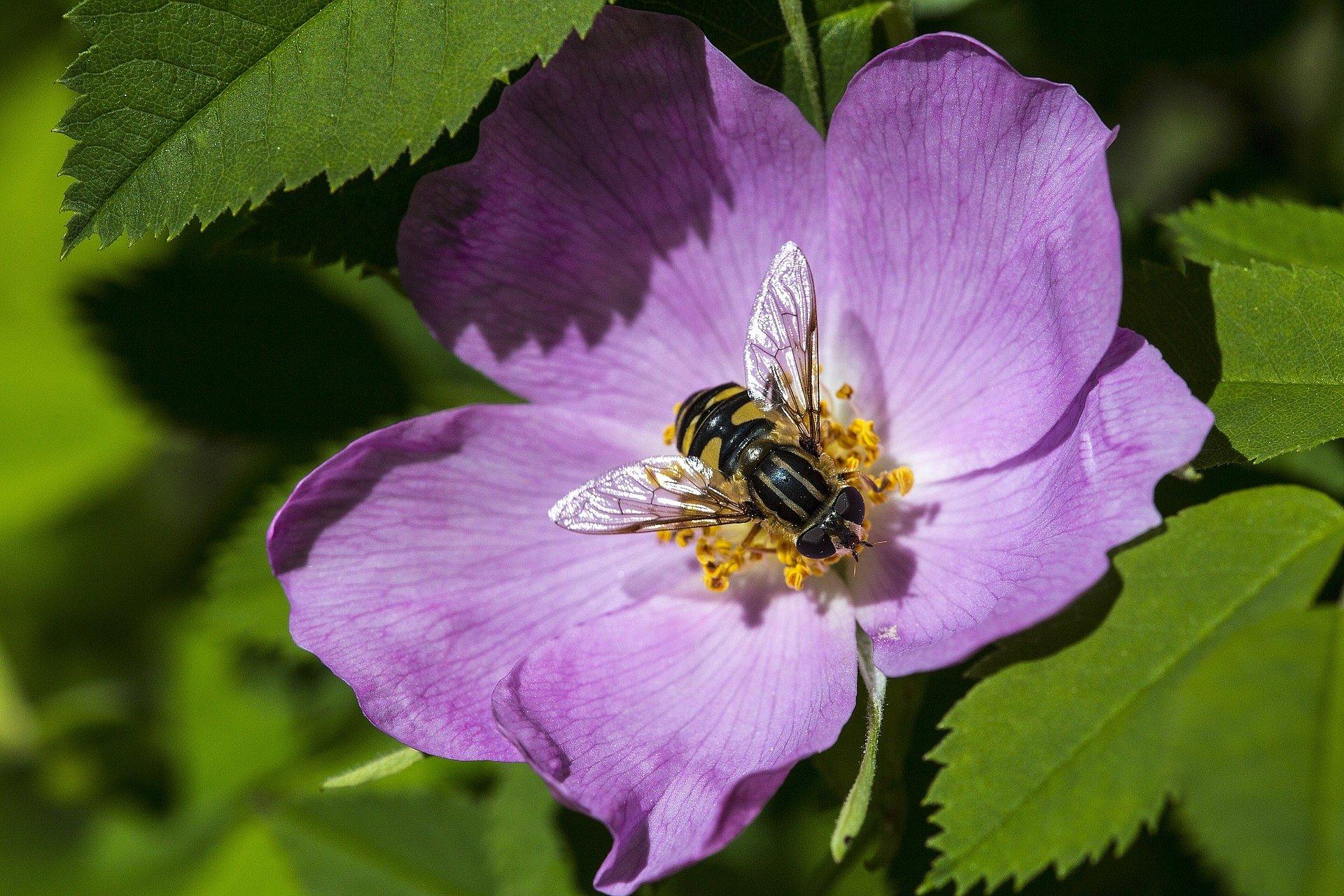 Biene beim Pollensammeln auf Wildrose