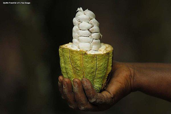 Grüne Kakao Pflanze frisch vom Baum