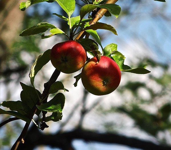 Wildapfel Frucht