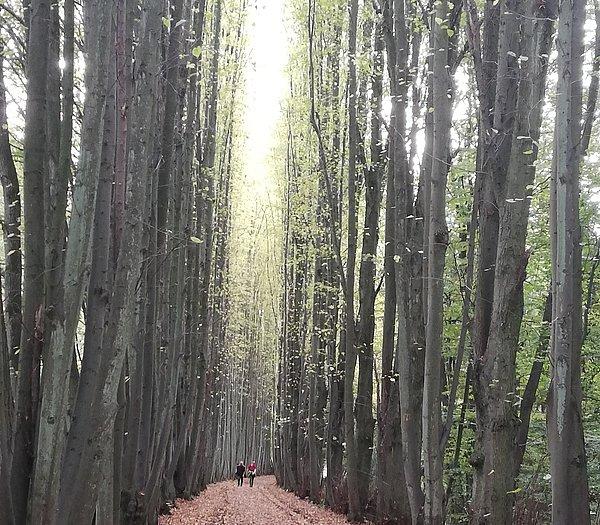 Waldallee auf dem Wanderweg