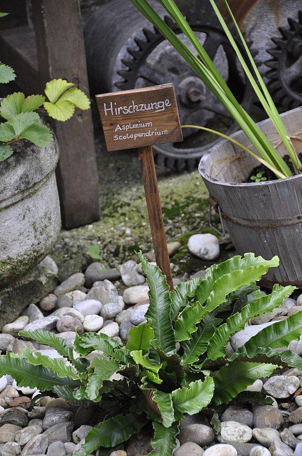Hirschzunge Kraeutergarten