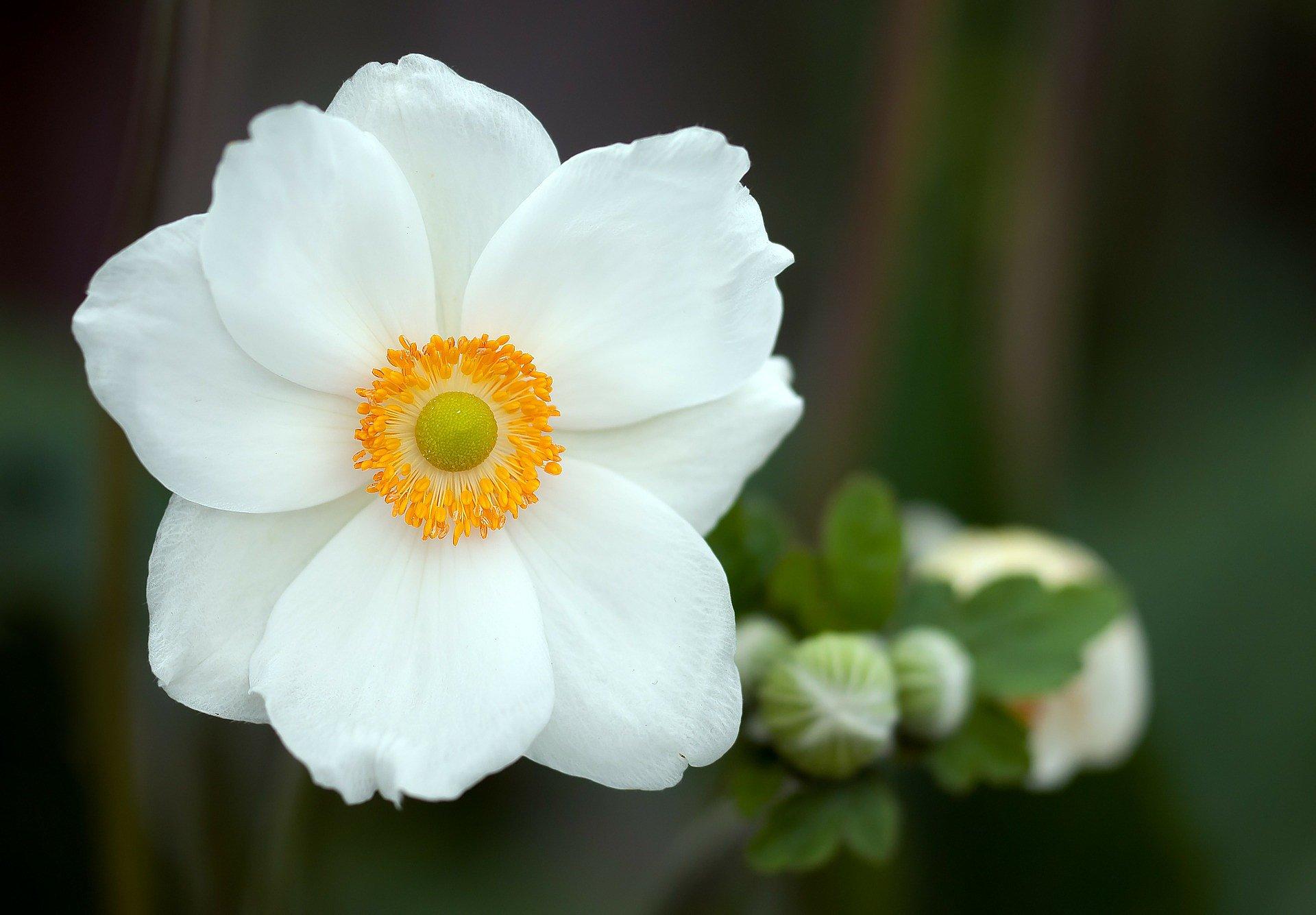 summer-anemone